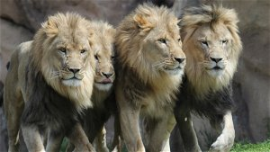 11 African lions test positive for COVID-19 at the Denver Zoo