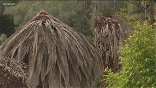 Why palm trees are dying in San Diego County