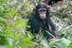 Young Chimp At Maryland Zoo Ventures Out For First Time