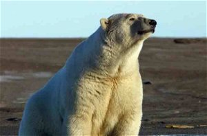 U.S. Fish and Wildlife Service Publishes New Regulations for Incidental Take of Polar Bears and Pacific Walruses in the North Slope of Alaska - Alaska Native News