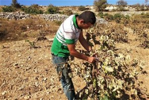 Two Children Poisoned, 400 Trees Damaged as Settlers Spray Toxic Pesticides