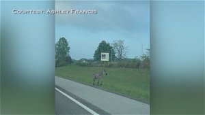 Law enforcement help capture loose zebra in middle Tennessee