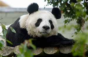 'Tian Tian is in good health': Edinburgh Zoo's giant panda could be pregnant with second cub, keepers say