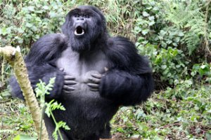 Why do gorillas beat their chests? New research gives insight into behaviour of silverbacks