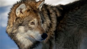 """""""A touching, amazing moment"""": Wolf sighted in Helsinki and Espoo"""