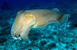 Cuttlefish can pass the marshmallow test