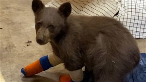 Bear cub rescued from Sierra wildfire escapes Tahoe center