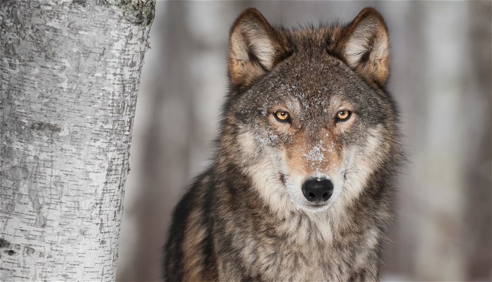 Green groups sue after Trump administration lifts protections for gray wolf
