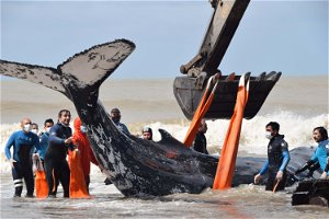 Watch the rescue of this beached whale in Argentina
