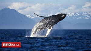 Why whales in Alaska have been so happy