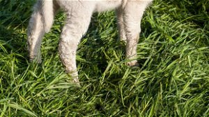 Lay of the Land: Celebrating eternallife by sending lambs to slaughter