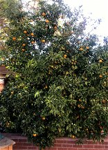 [Opinion] Tim Steller's opinion: Eat a tangerine, bake a cake — just use your citrus