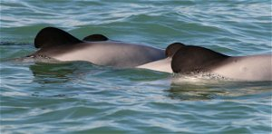 The critically endangered Māui dolphin is a conservation priority—uncertainty shouldn't stop action to save it