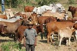 UPND AGRICULTURE POLICY: Livestock Development for Job Creation