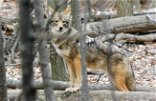 Coyotes chew up more money than wolves in Michigan farm payouts
