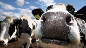 Saudi A., like China, ends Brazil meat imports over Mad Cow findings