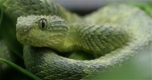 San Diego zoo employee bit by venomous snake with no antivenom
