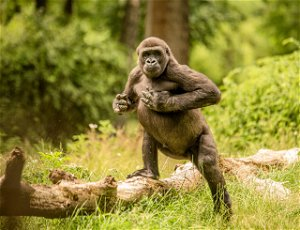 Chest beating conveys important details about mountain gorillas