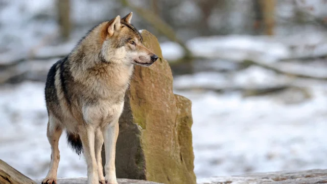 Feds kill 8 wolf pups from pack tracked for years by Idaho high school students