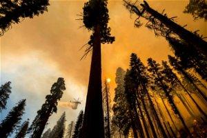 Fires, drought weakened 10K trees near giant sequoia groves