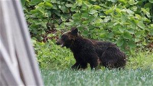 Bear shot dead after rampaging through Japanese city
