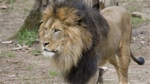 Lions, tigers at National Zoo return positive COVID-19 tests