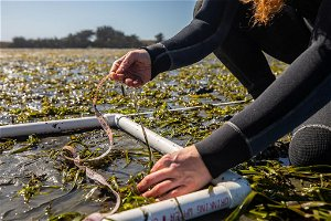 Underwater meadows of California seagrass found to reverse symptom of climate change