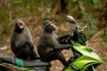 Bali's thieving monkeys seek bigger ransoms for high-value swag – study