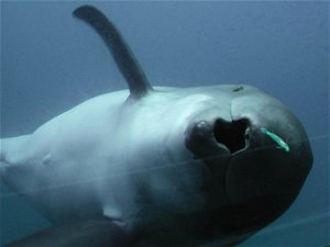 Rapid echolocation helps toothed whales capture speedy prey