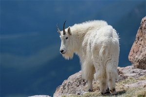 Mountain goat kills 154 pound grizzly bear in self defence with 'dagger-like' horns