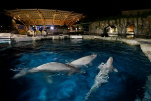 Aquarium to auction off chance to name 3 beluga whales