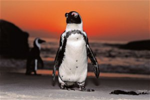Bee stings believed to have caused death of 63 African penguins in Western Cape town